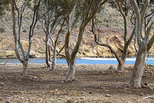 Árboles eucaliptos en Genoveses